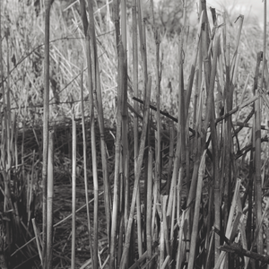 black and white photograph of reeds growing outdoors