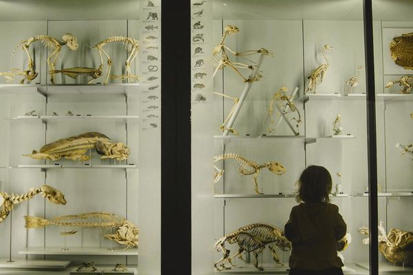 Child gazing at a backlit museum display case full of skeletons and fossils.